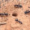 Camponotus sp. cf. nigroaeneus divus