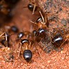 Camponotus terebrans
