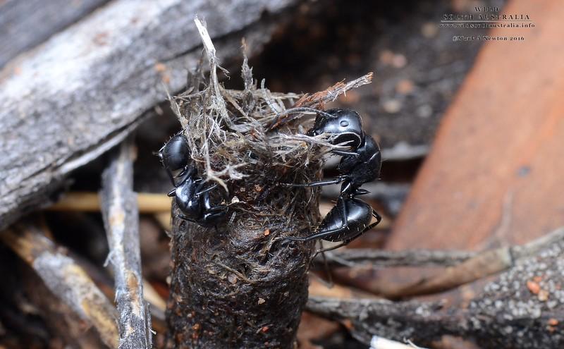Camponotus tristis