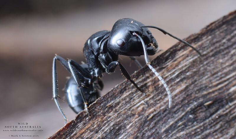 Camponotus tristis    -  major worker