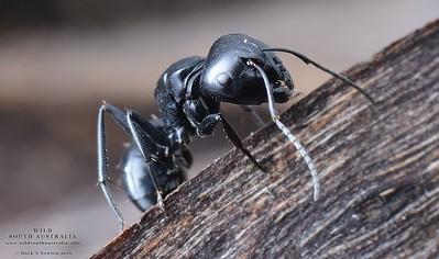 Camponotus tristis    -  major worker
