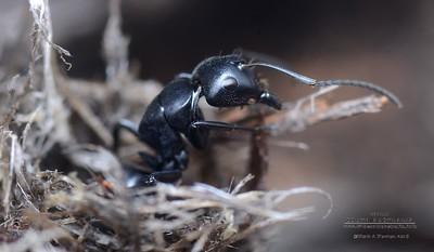 Camponotus tristis   -  minor worker