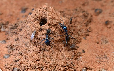 Iridomyrmex lividus at nest mound - possibly built to stop flooding - prey item Rutherglen bug (Nysius vinitor)