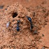 Iridomyrmex lividus at nest mound - possibly built to stop flooding - prey item Rutherglen bug (Nysius vinitor)
