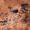 Iridomyrmex lividus at nest mound - possibly built to stop flooding
