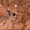 Iridomyrmex lividus at nest mound - possibly built to stop flooding - catching the Rutherglen bug (Nysius vinitor)