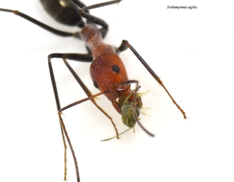 Iridomyrmex agilis - Very fast, solitary foraging ant.