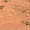 Striped skink (Ctenotus regius) targeting Iridomyrmex calvus alate queens