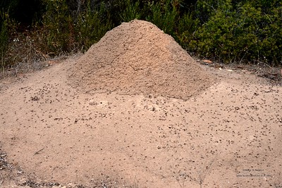 Iridomyrmex purpureus  (Appear to have taken over this Nasute termite nest)