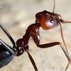 Iridomyrmex purpureus closeup
