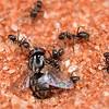 Iridomyrmex sp - fly ready to disassemble