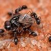 Iridomyrmex sp - fly disassembly