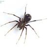 Iridomyrmex viridiaeneus spider mimic -  Zodariidae