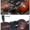 Myrmecia aberrans showing difference in thorax morphology between a queen and worker