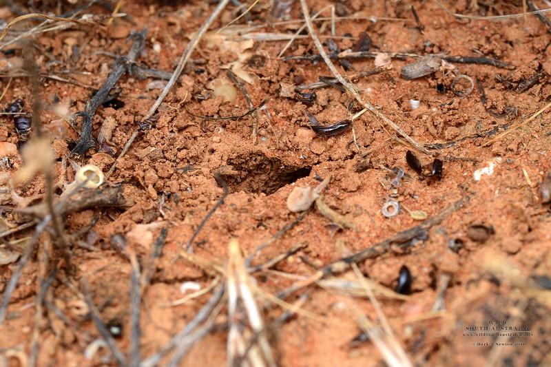 Myrmecia aberrans burrow entrance
