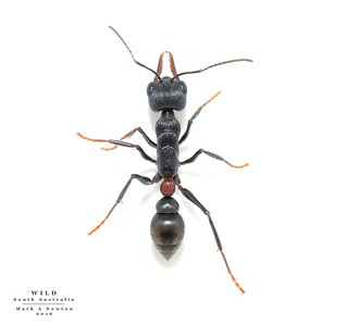 Myrmecia 'pilosula'   -  this form of 'pilosula' does not appear in any published key.  (9.5mm inc mandibles)  Closest match is cydista/harderi