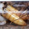 Myrmecia sp. aff. fuscipes - larvae (captive housed)