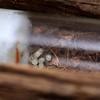 Myrmecia sp. aff. fuscipes  - eggs (captive housed)