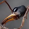 Myrmecia sp. aff. fuscipes   queen