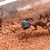 Myrmecia sp. aff. fuscipes   queen