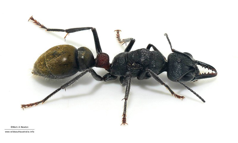 Myrmecia sp (queen)