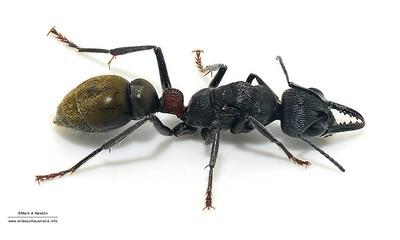 Myrmecia sp (queen)