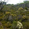 Myrmecia swalei - Habitat