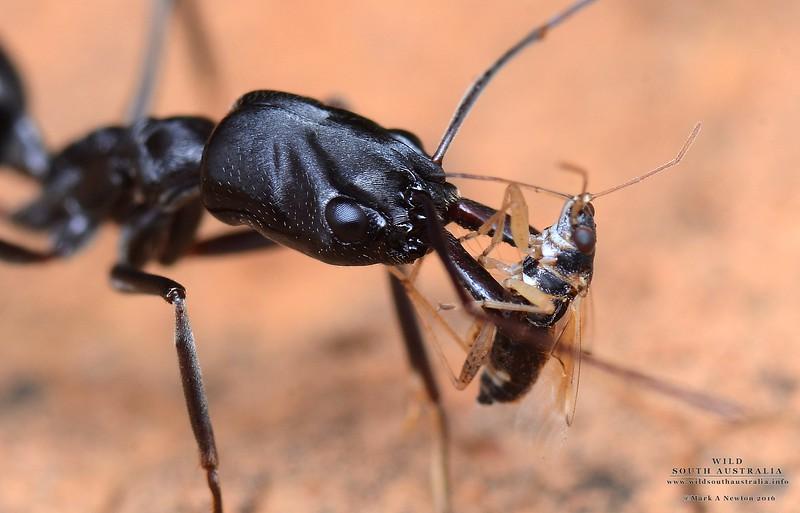 Odontomachus simillimus with Hemipteran prey