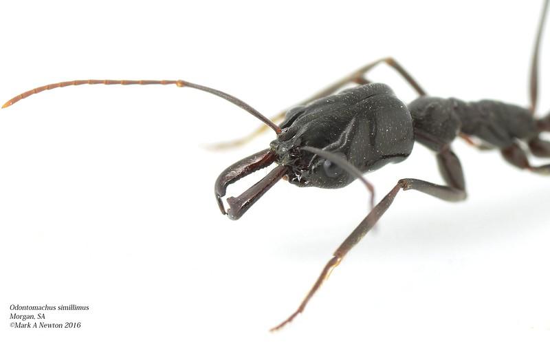 Odontomachus simillimus