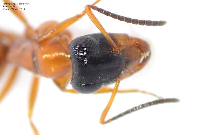 Opithopsis sp cf. rufithorax