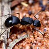 Polyrhachis (Campomyrma) sp. cf. schwiedlandi