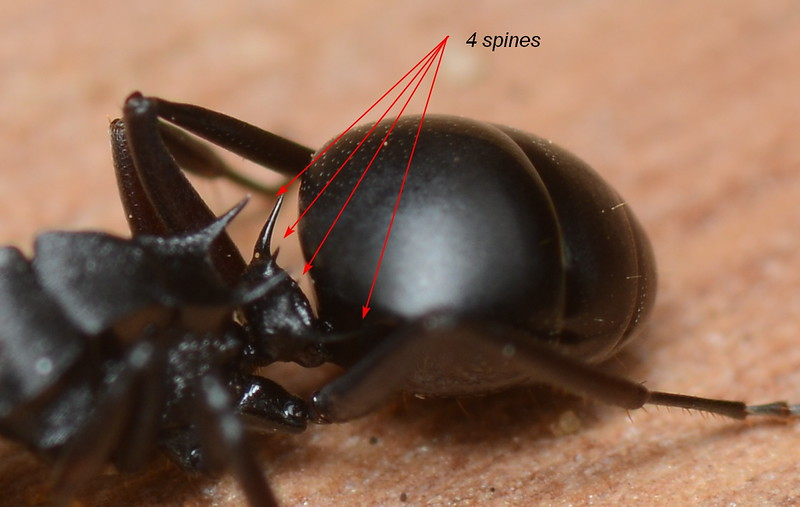 Polyrhachis sidnica complex sp1 showing propodeal and petiolar spination