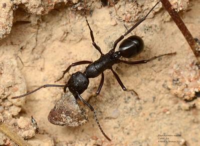 Rhytidoponera maniae