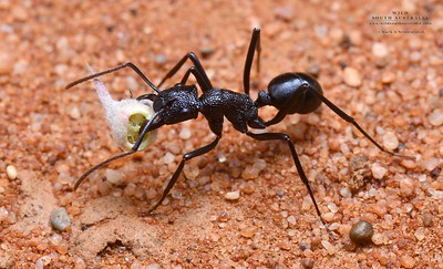 Rhytidoponera mayri with a Sclerolaena diacantha diaspore. This is an example of myrmecochory, where the plant offers a nutrient reward for disperal by ants of the diaspore to a  nutrient rich point away from the parent plant