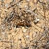 Rhytidoponera mayri nest