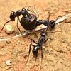 Rhytidoponera mayri