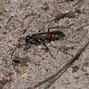 Pompilid wasp, July