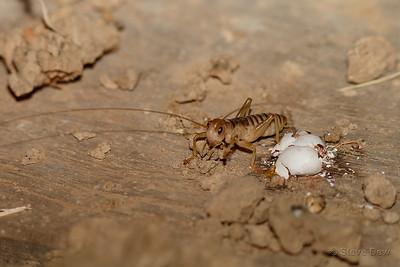 Raspy Cricket
