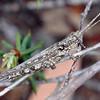 Coryphistes ruricola - Bark-mimicking Grasshopper