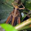 Austracris guttulosa - Spur-throated Locust