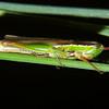 Bermius brachycercus - Garden Bermius