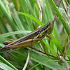 Bermius odontocercus - Eastern Toothed Bermius