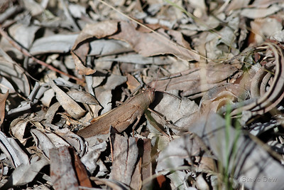 Slender Gumleaf Grasshopper