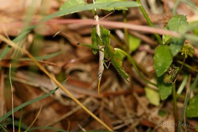 Matchstick Grasshopper