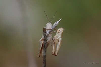 Giant Grasshopper  Nymph