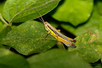 Creek Grasshopper