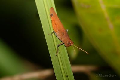 Gumleaf Mimic Grasshopper