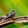 Rugose Grasshopper (Hippiscus ocelote), male