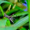 Admirable Grasshopper (Syrbula admirabilis), male