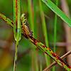Red-legged Grasshopper (Melanoplus femurrubrum), male